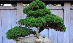 Bonsai: veja como cultivar mini-árvores em casa